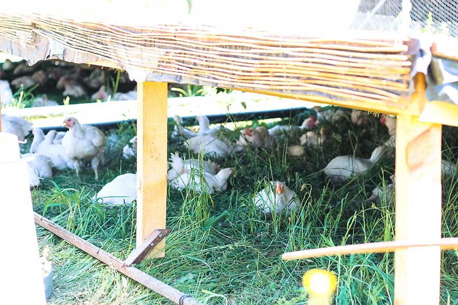 Planeses pollo de pasto