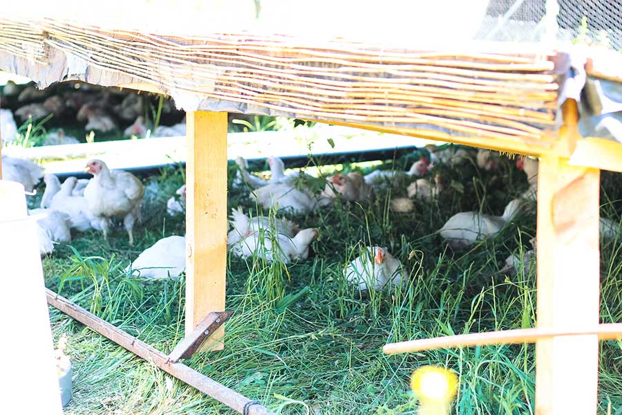 Pollo de pasto