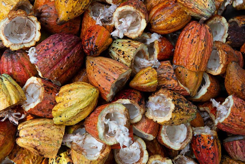 Vainas de cacao con semillas en su interior