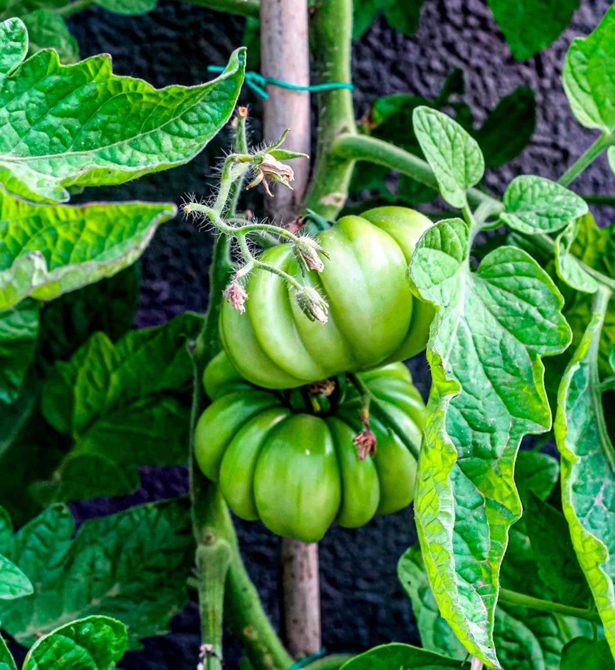 3 consejos fáciles para disfrutar de tomates que saben a tomate