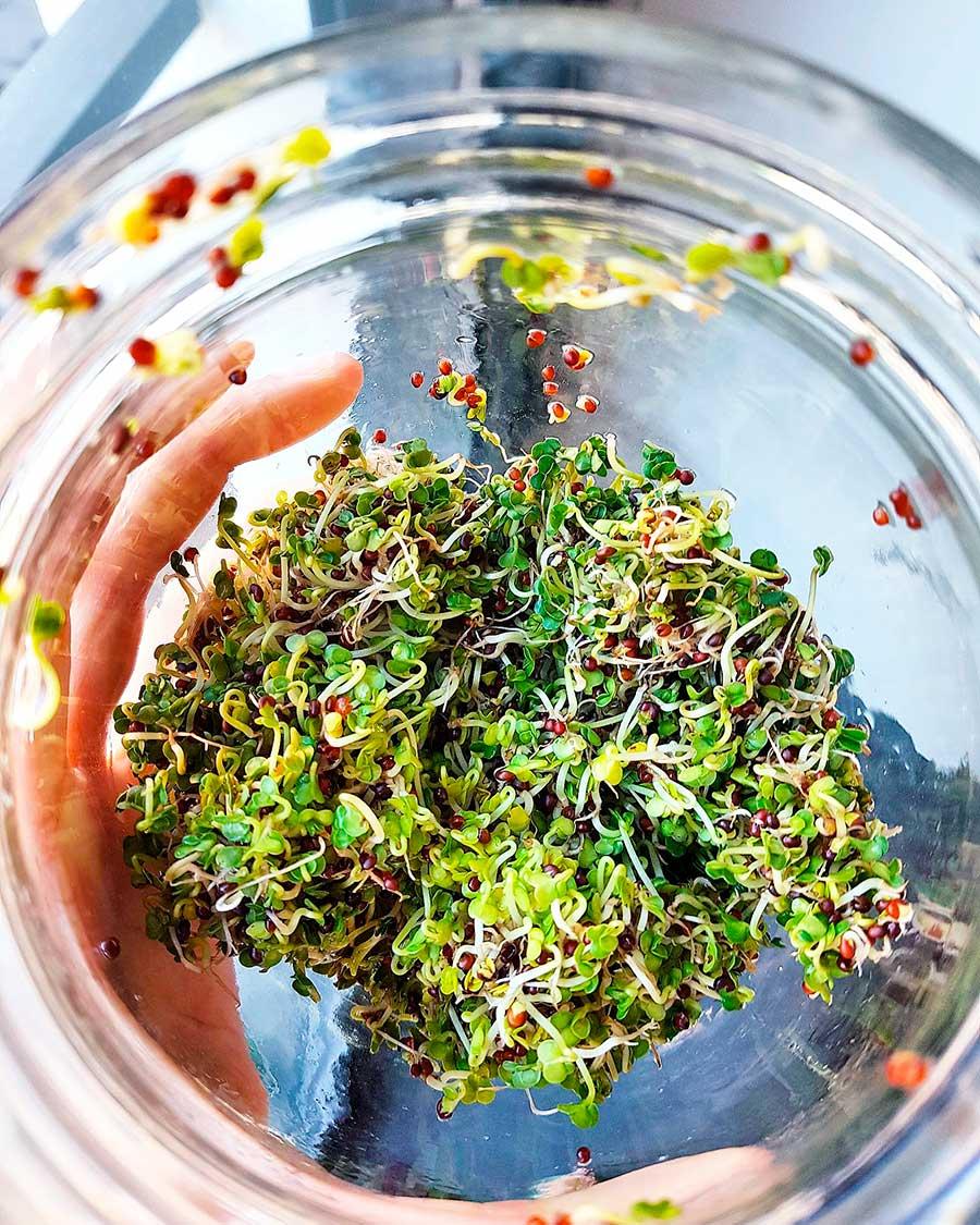 Brotes de brócoli: aprende a germinarlos en casa